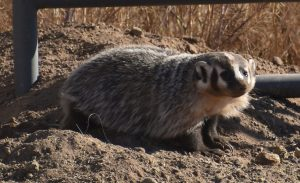 american badger june 2 2020