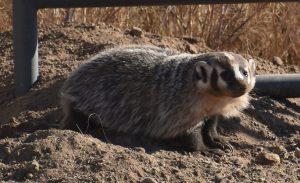 american badger june 2 2020